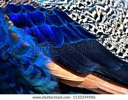 beautiful peacock feathers #1110294986