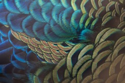 Beautiful peacock feathers (Green peafowl)
