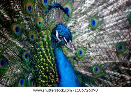 Beautiful peacock head