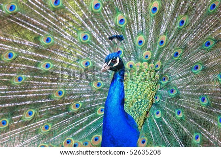 Beautiful peacock in full feather stock photo 52635208 shutterstock - Beautiful peacock feather ...