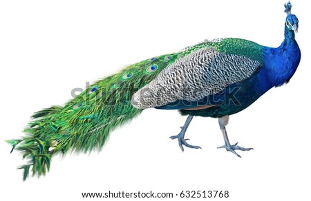 Beautiful Peacock Isolated On White Background