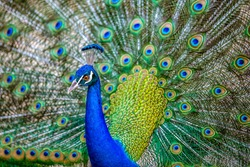 Beautiful Peacock with beautiful and colorful wings with amazing designs on it.