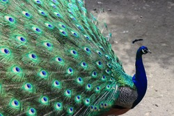 Beautiful peacock with peacock feathers in tail