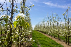 Beautiful pear tree blossom in springtime  with sunny weather and fruit orchard scenery in the background (Borgloon, Belgium)