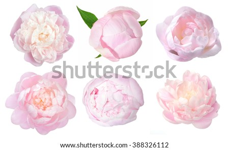 Photo of  beautiful peony flower isolated on white background