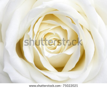 beautiful white rose flowers. stock photo : Beautiful perfect white rose flower head