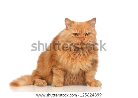 Beautiful persian cat isolated on white background