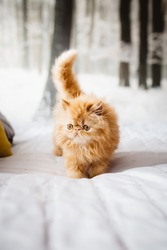 Beautiful Persian Cat Walking Across Bed