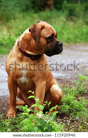 Beautiful pet boxer sitting at summer park, selective focus