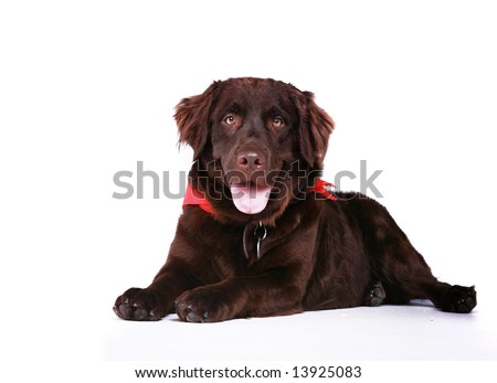 chocolate lab dog. Pet Chocolate Lab Dog