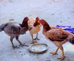 Beautiful pet hens drinking water in a plate