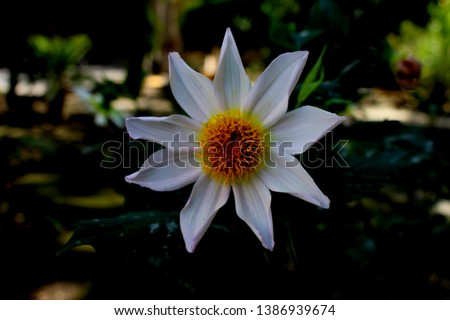 beautiful 9 petal dahlia white flower with yellow pollen and butterfly is on flower along with bee extracting flower juice, mid shot, right shot, center shot, #1386939674