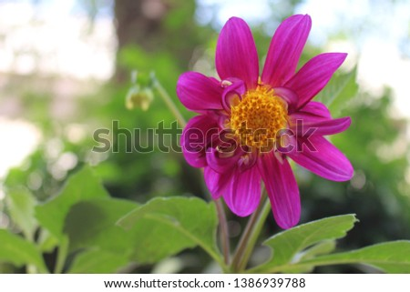 beautiful 9 petal dahlia white flower with yellow pollen and butterfly is on flower along with bee extracting flower juice, mid shot, right shot, center shot, #1386939788