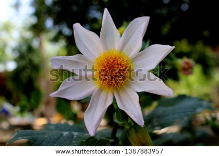 beautiful 9 petal dahlia white flower with yellow pollen and butterfly is on flower along with bee extracting flower juice, mid shot, right shot, center shot, #1387883957