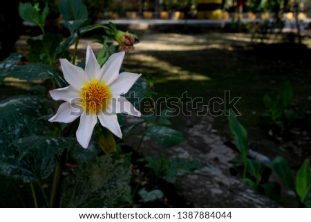beautiful 9 petal dahlia white flower with yellow pollen and butterfly is on flower along with bee extracting flower juice, mid shot, right shot, center shot, #1387884044