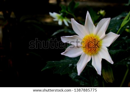 beautiful 9 petal dahlia white flower with yellow pollen and butterfly is on flower along with bee extracting flower juice, mid shot, right shot, center shot, #1387885775