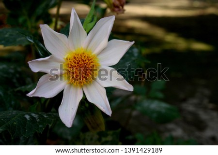 beautiful 9 petal dahlia white flower with yellow pollen and butterfly is on flower along with bee extracting flower juice, mid shot, right shot, center shot, #1391429189