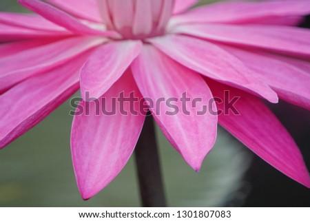 Beautiful petal of blooming lotus taken from the side #1301807083
