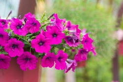 Beautiful petunia flower in the garden.