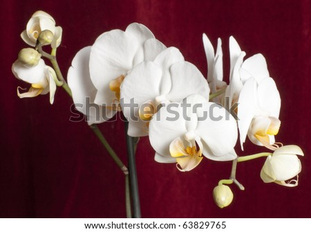 Beautiful phalaenopsis orchid against a red background