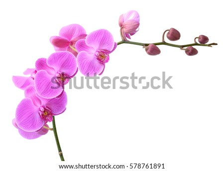 beautiful Phalaenopsis orchid flowers, isolated on white background #578761891