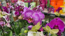 Beautiful phalaenopsis orchids in the greenhouse Orchidaceae plants Nature background