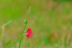 Beautiful Phasey Bean flower, Macroptilium lathyroides (Phaseolus Lathyroides L.) with blurred natural background.