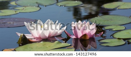Beautiful photo of a blooming water lilies in a water garden.