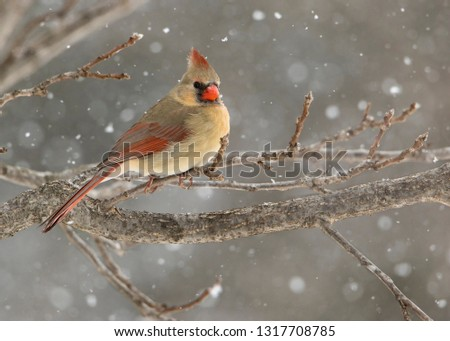 Beautiful photo of a female Northern Cardinal (Cardinalis cardinalis) perched on a branch during a gentle snow.