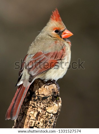 Beautiful photo of a female Northern Cardinal (Cardinalis cardinalis) perched on a tree stump in front of a dark background.