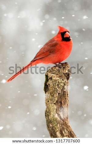 Beautiful photo of a male Northern Cardinal (Cardinalis cardinalis) standing on a perch during a gentle snow.