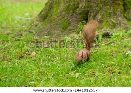 Beautiful photo of a red squirrel (Sciurus vulgaris) on green grass in the park. Photo with a shallow depth of field. Green grass background.