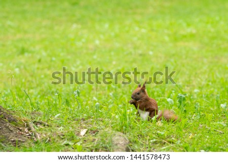 Beautiful photo of a red squirrel (Sciurus vulgaris) standing in the green grass and eating seeds. Photo with small depth of field. Beautiful background photo.