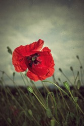 Beautiful photo of poppy in bloom in the wind and rain