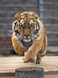 Beautiful photo of siberian tiger in jump. Tiger is jumping and ready to attack.