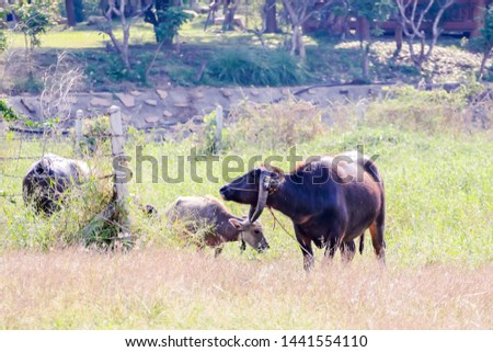 Beautiful photo of water buffalo cow, Ayutthaya taken in thailand