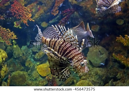 Beautiful photograph of one red lionfish (Pterois) and colorful corals in the background in the Barcelona aquarium, Spain. The underwater world. Wild nature background. stock photo