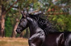 Beautiful photographs of a black, Friesian Stallion.