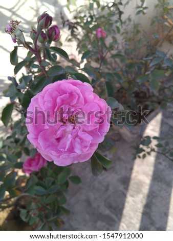 Beautiful pic of a rose