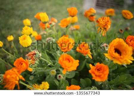 beautiful pic of yellow flowers in a garden