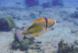 Beautiful picasso triggerfish swimming in the tropical waters of the Red Sea in Egypt. Underwater photography, Scuba Diving