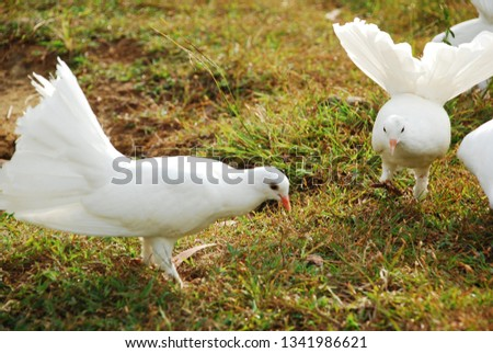 beautiful picture of a couple dove on  a grass