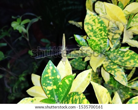 beautiful picture of insect dragon fly on croton plant
