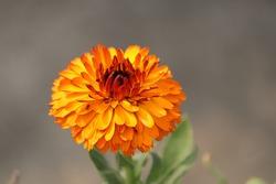 beautiful picture of orange Transvaal daisy