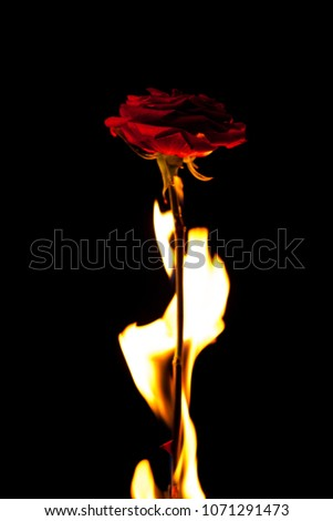 Beautiful picture with a red rose on fire