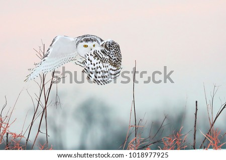 Beautiful pictures of snowy owls.
