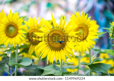 Beautiful pictures of sunflower and insect. Beautiful flower are attracting the pollinators of garden, selective focus. Beautiful natural background.