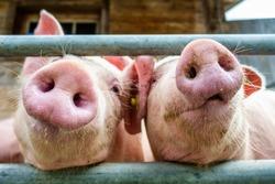 beautiful piglets at a farm