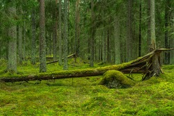 Beautiful pine and fir forest in Sweden, with a fallen tree and the forest floor covered with thick green moss