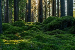 Beautiful pine and fir forest in Sweden with a thick layer of green moss covering the forest floor, some sunlight shining in through the branches